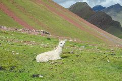 Lama à l'altiplano Photo stock