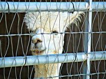 Lama à la ferme observant les visiteurs comme ils passent par photos stock