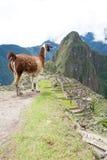 Lama à la ville perdue de Machu Picchu - le Pérou Photographie stock