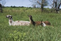 lama семьи Стоковое Изображение