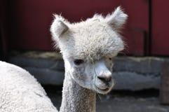 Lama royalty free stock photos