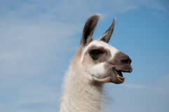 Lama. Witty lama head in detail. Sky background Royalty Free Stock Photos