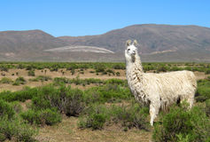 Lama Photographie stock libre de droits