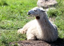 Lama Royalty Free Stock Image