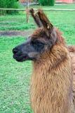 Lama Images libres de droits