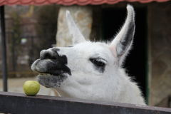 Lama. Unhappy in the zoo include l house, eating an apple, hungry, green apple Royalty Free Stock Photography