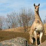 Lama Stock Photos