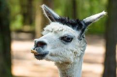 Lama Стоковые Фотографии RF