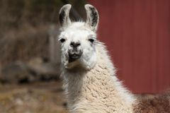 Lama 3 Royalty Free Stock Image
