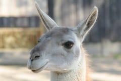 lama zdjęcie royalty free