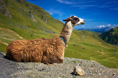 Lama Photo stock