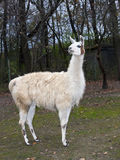 Lama Photos stock