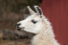 Lama 4. A beautiful Lama photographed in Germany Stock Photography