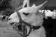 lama Стоковые Изображения RF