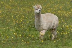 Lama royalty-vrije stock afbeeldingen
