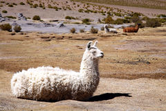 Lama. A resting white lama in Bolivia Royalty Free Stock Photo
