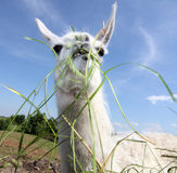 Lama Stock Photography