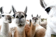 Lama Royalty Free Stock Photos