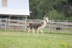 Lama, addomesticato sull'azienda agricola Fotografie Stock