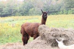 Lama, addomesticato sull'azienda agricola Fotografia Stock Libera da Diritti