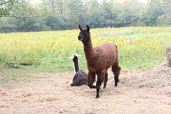 Lama, addomesticato sull'azienda agricola Immagine Stock Libera da Diritti