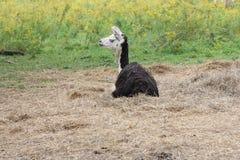 Lama, addomesticato sull'azienda agricola Fotografia Stock