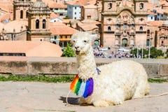 Lama addormentata al San Cristobal Church, Cusco, Perù Fotografie Stock Libere da Diritti
