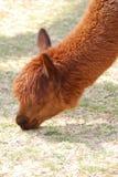 Lama adorabile di Brown che pasce sull'erba in un'azienda agricola Immagine Stock Libera da Diritti