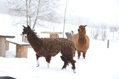Lama adorabile nell'inverno Fotografie Stock