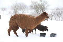 Lama adorabile nell'inverno Immagini Stock Libere da Diritti