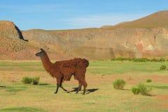 Lama al altiplano Immagine Stock Libera da Diritti