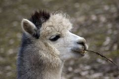 Lama alpaca. Royalty Free Stock Photos