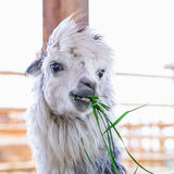 Lama alpaca animal. Lama alpaca exotic animals at the zoo Royalty Free Stock Photo