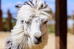 Lama alpaca animal. Lama alpaca exotic animals at the zoo Stock Photography