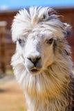 Lama alpaca animal. Lama alpaca exotic animals at the zoo Royalty Free Stock Photos