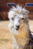 Lama alpaca animal. Lama alpaca exotic animals at the zoo Stock Image