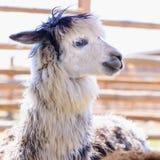 Lama alpaca animal. Lama alpaca exotic animals at the zoo Royalty Free Stock Images