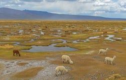 Lama, Alpaca en Vicuna in de Andes, Peru royalty-vrije stock foto's