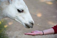 Lama Alpaca. Feeding domesticated lama at the zoo Stock Images