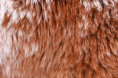 Alpaca fur llamas Royalty Free Stock Images