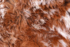 Alpaca fur llamas Stock Photography