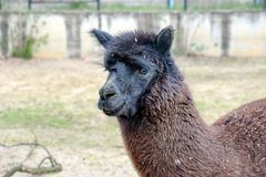 Lama Alpaca Head Close Up royalty free stock image
