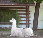 Lama alpaca lying down Royalty Free Stock Photo