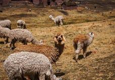 Lama Alpaca in montagne delle Ande, Perù, Sudamerica Fotografia Stock