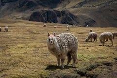 Lama Alpaca in montagne delle Ande, Perù, Sudamerica Fotografia Stock Libera da Diritti
