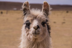 Lama Alpaca portrait. Portrait of an alpaca. A cloe up to a lama. Lamas and alpacas are very popular in Bolivia and Peru for their wool and meat Stock Images