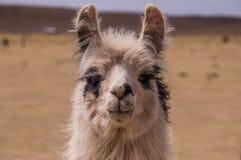Lama Alpaca portrait Stock Images