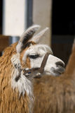 Lama alpacas Royalty Free Stock Photos