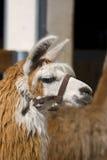 Lama alpacas Royalty Free Stock Photos