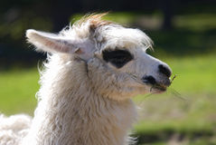 Lama alpacas Stock Photography